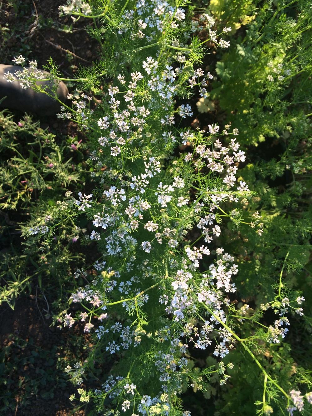 Flowering cilantro.