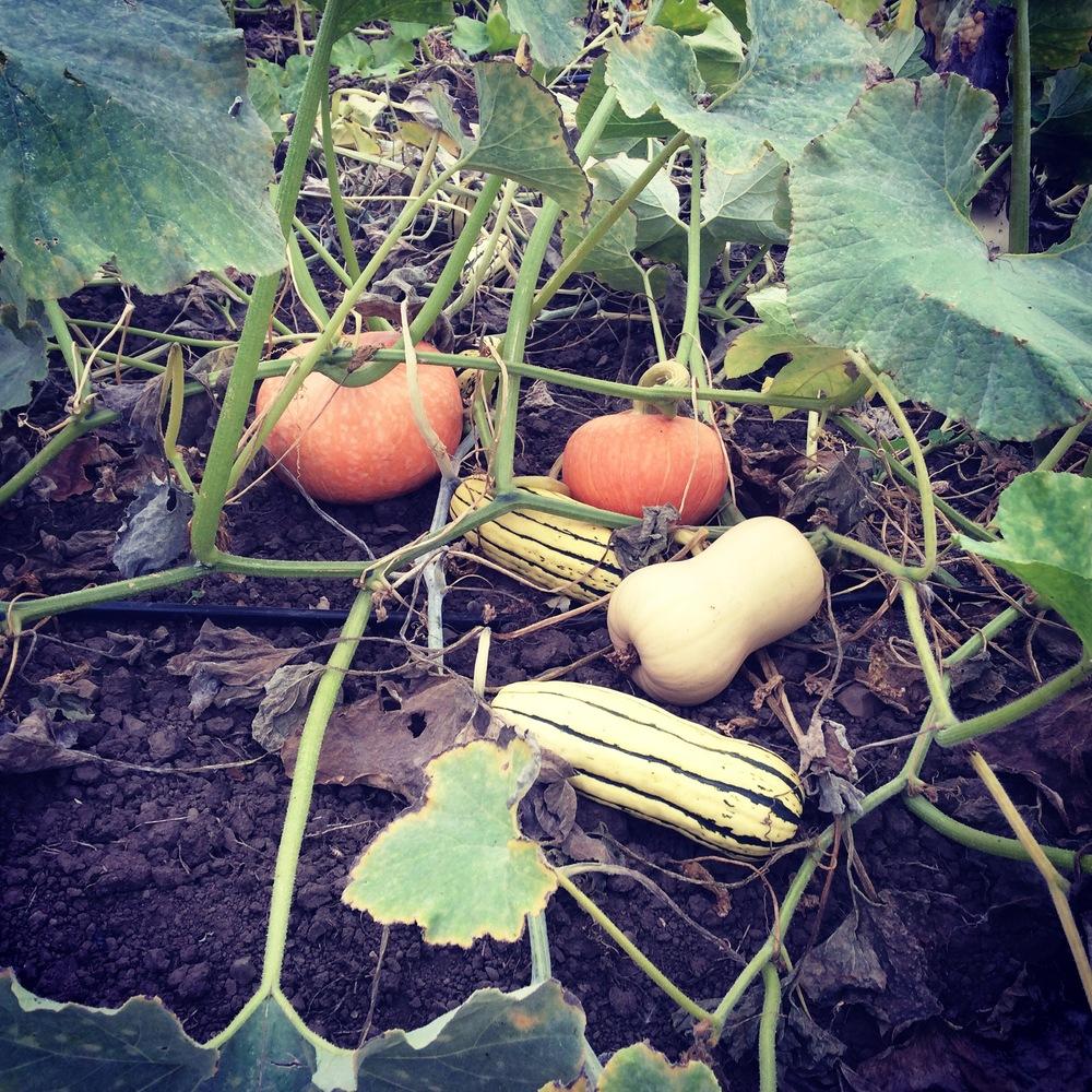 Autumnal equinox squash harvest.