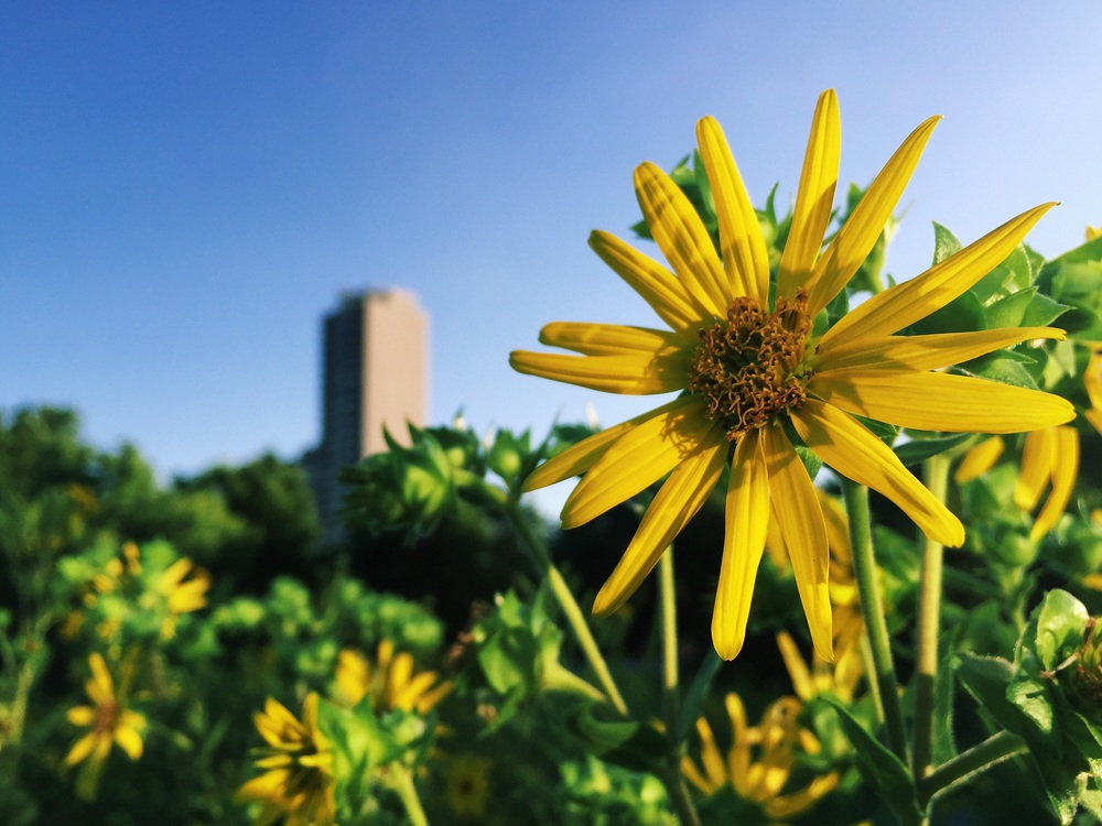 Jerusalem Artichoke with a lonely building behind.