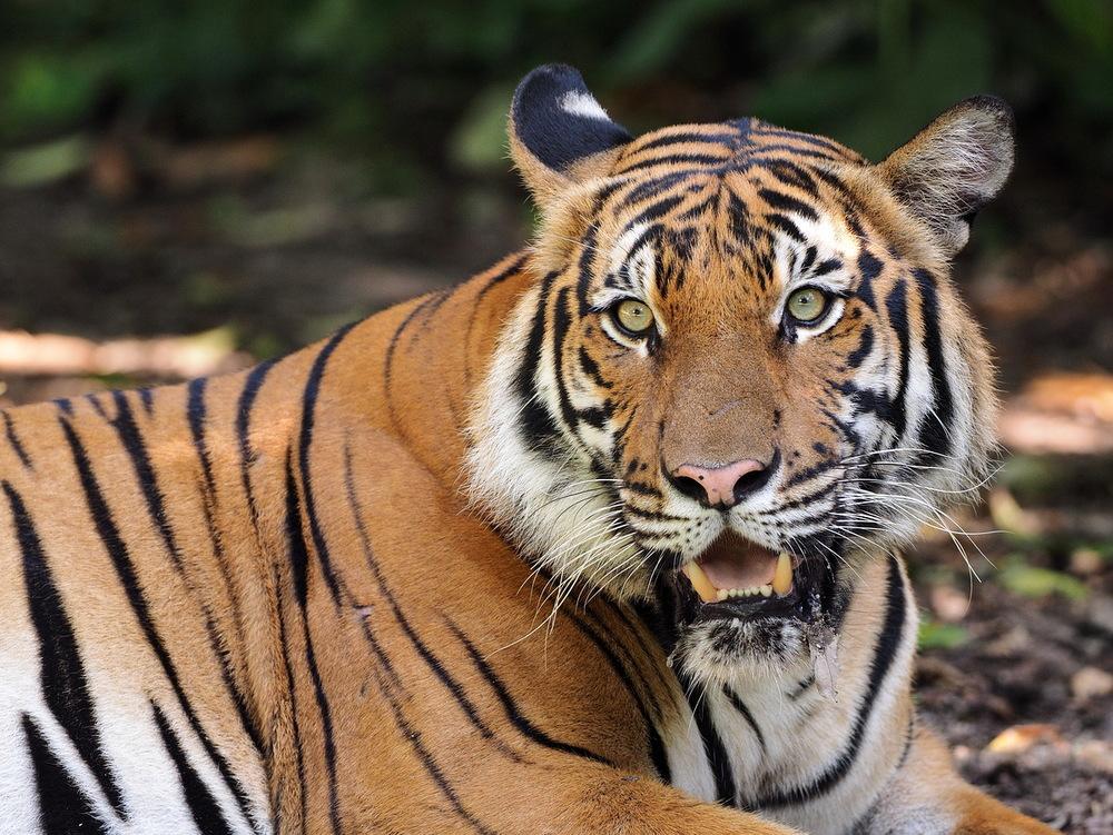 Tiger by Robin Wong, © Robin Wong 2016