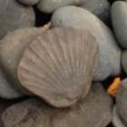 Stone clam shell.jpg