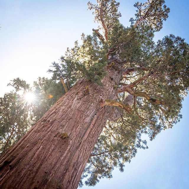 General Sherman, the largest living tree in the world. #welikebigtreesandwecannotlie
