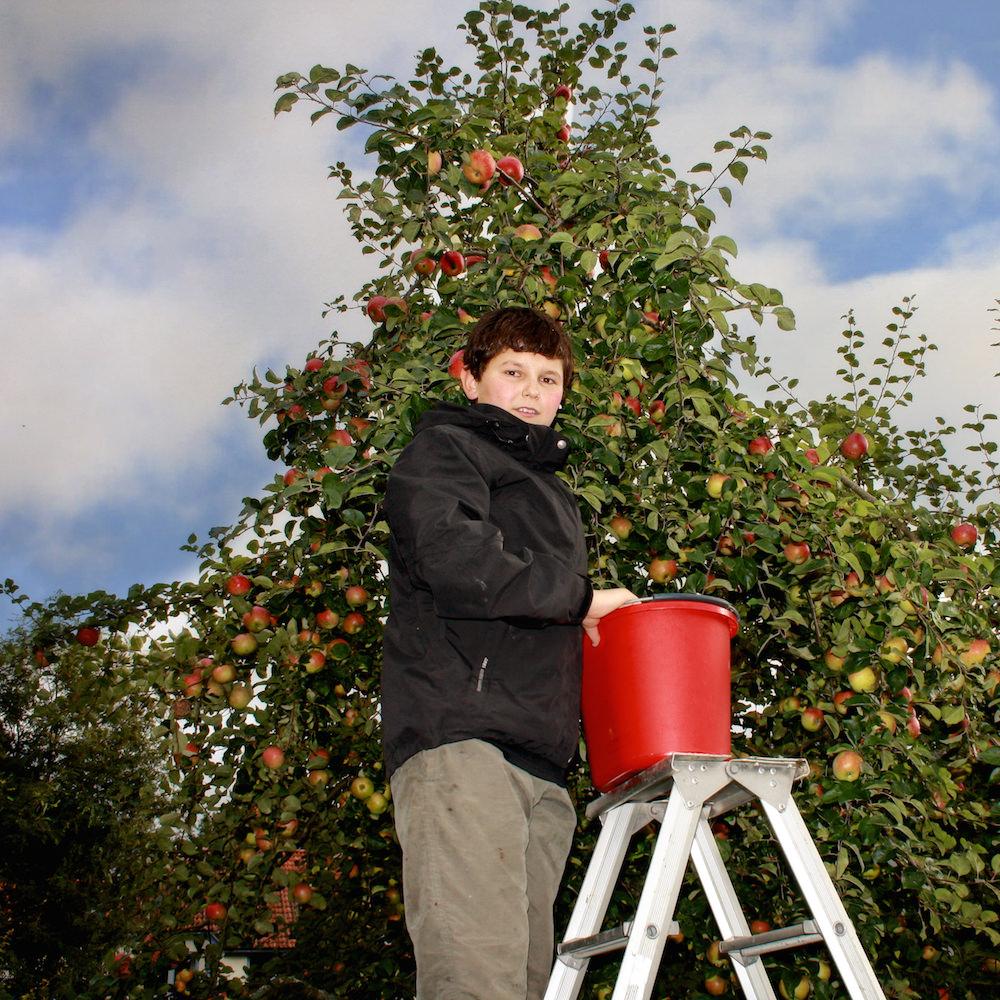 Den årliga äppelskörde  n!  Alla hjälps åt att plocka.  På hela Solberga finns 47äppelträd.