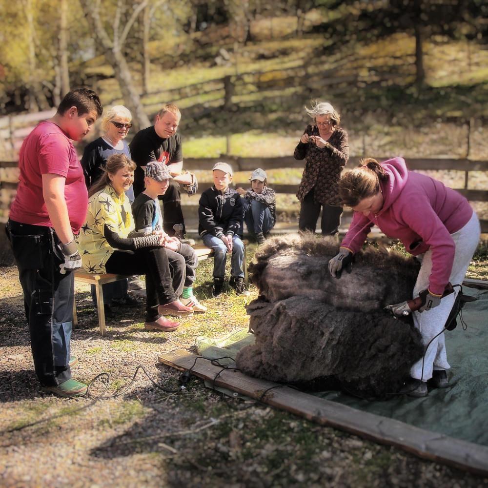 Man kan även vara med då Annika klipper fåren.Allt arbete som görs i ett stall är lärorikt.