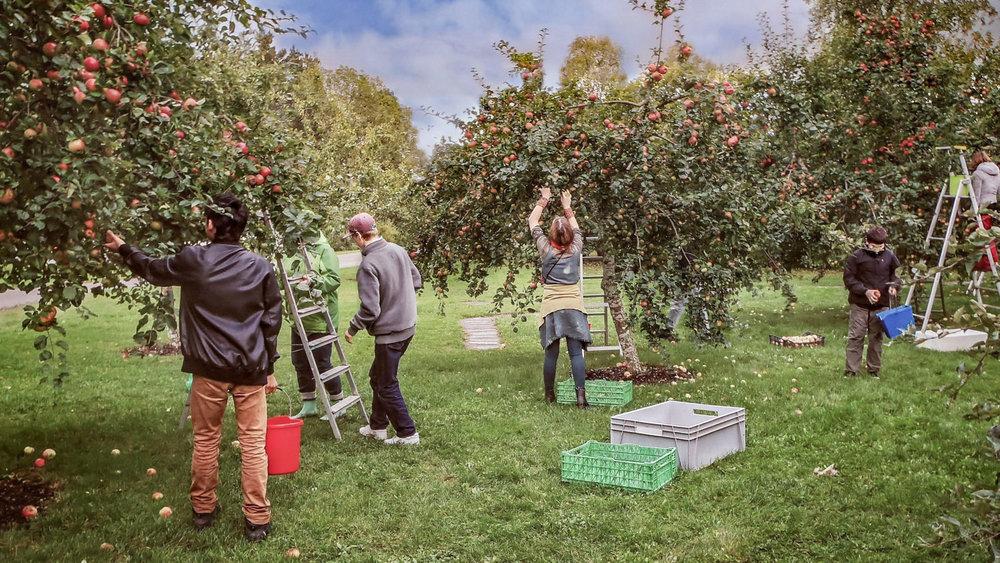 Av flera av äpplena blir det äppelmust som lämnas ut till elevhemmen och  skolan. Eleverna följer äpplet hela vägen från trädet viamusteriettill sin mun. Träden är märkta med namn på äppelsorten och vilken månad som just den sorten bör plockas. Många äpplen blir också uppätna som ett extra mellanmål på vägen mellan lektionerna...