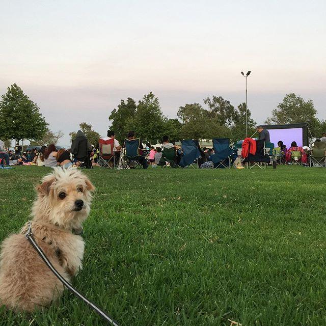 Chico is patiently waiting for Up 🎈to start 🐶🐿!✨ #disneylandinanaheim #juarezpark #elementaryschooldays #up #chicotron #movieinthepark #summer