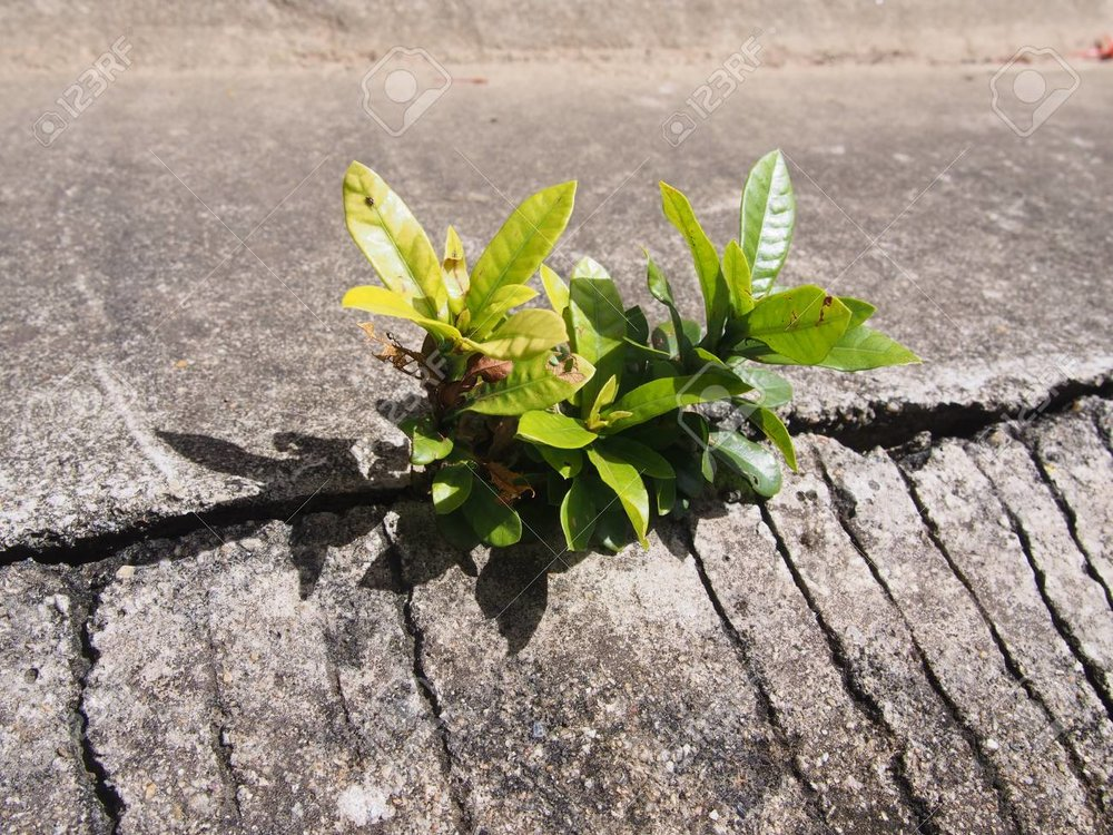 80694670-single-ivy-based-plant-growing-out-of-urban-concrete.jpg
