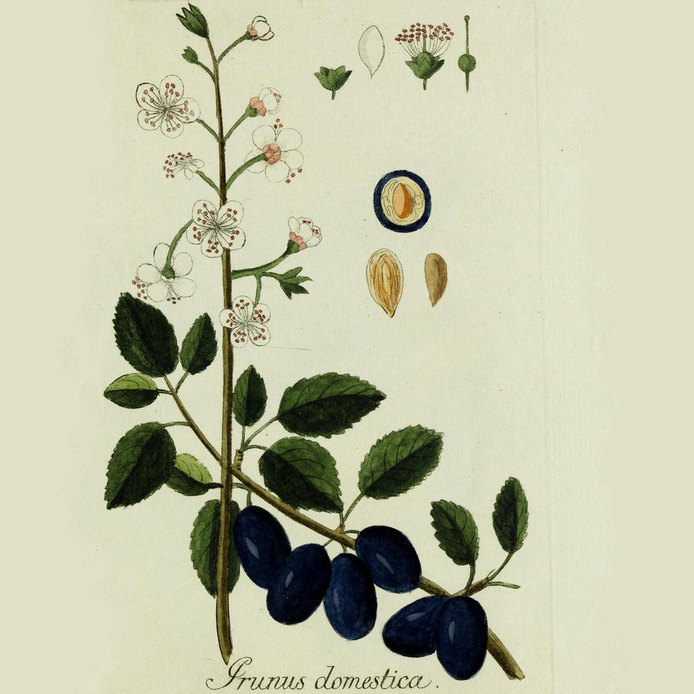 Plantarum indigenarum et exoticarum ... 1790