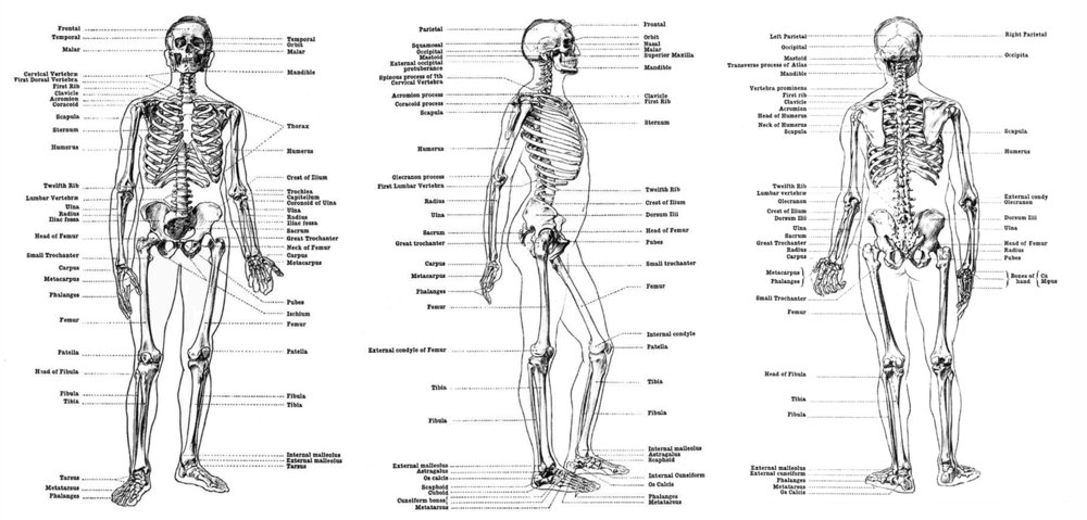 Human Skeleton: front, side and back views.