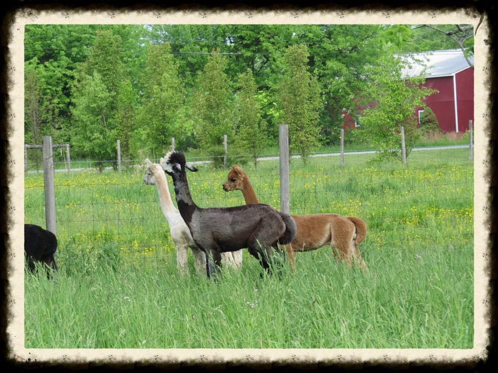 Our Herd Heaven S Acres Alpacas