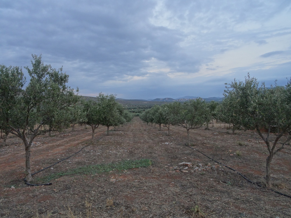 Our Family's Olive Groves