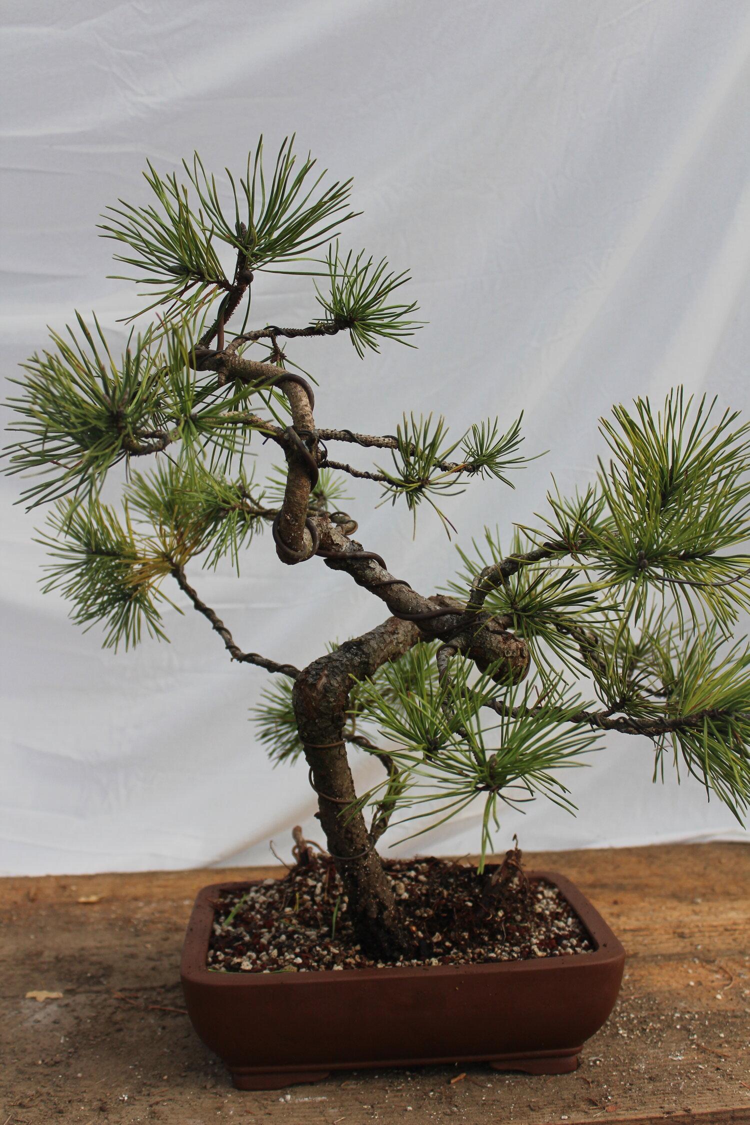 Shore Pine Bonsai 12 Driftwood Bonsai