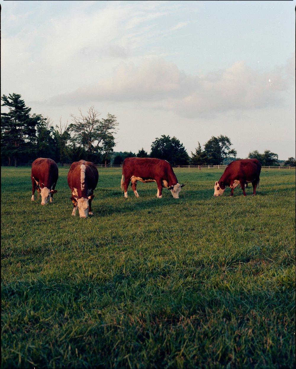cows grazing, Lewes DE 2018