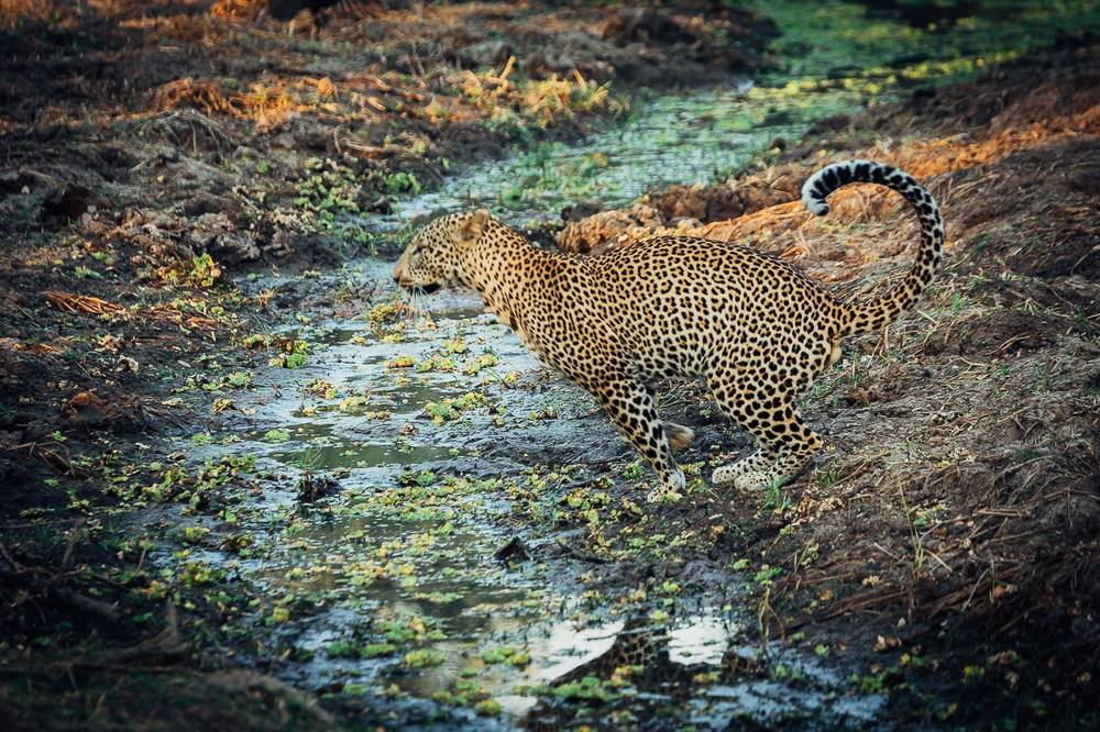 leopard brian.jpg
