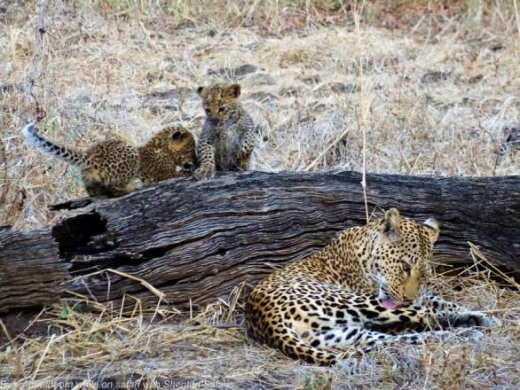 adorable lion cubs shenton safaris.jpg