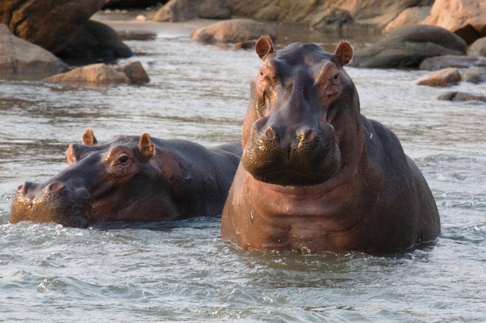 Majete Hippo (5).jpg