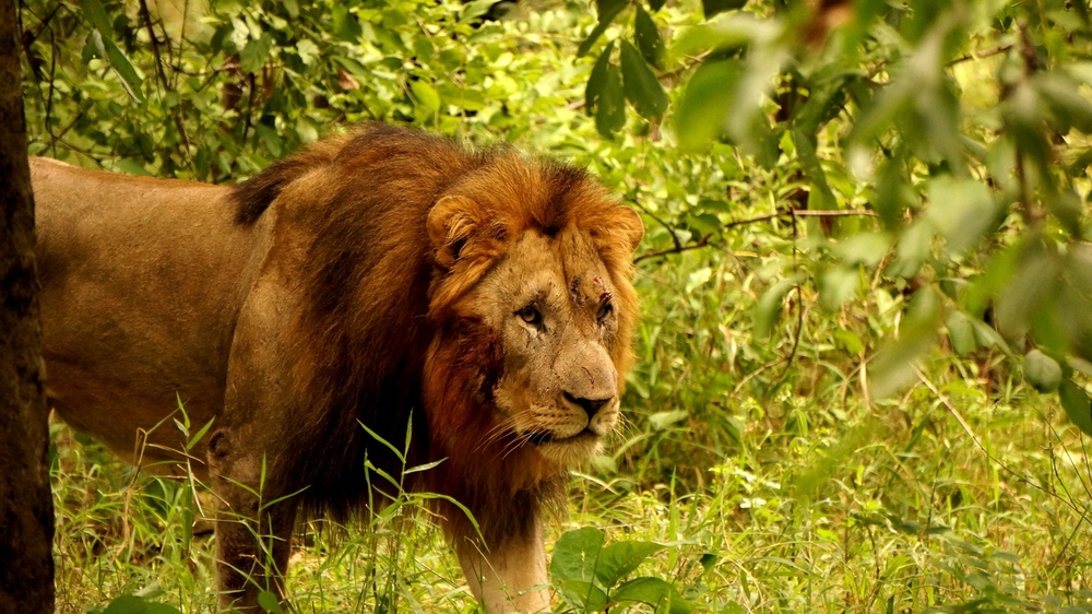 Lion - Majeti.jpg