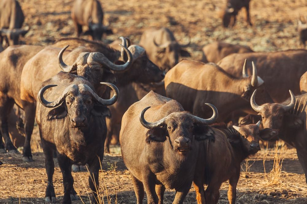 Herd of buffalo, the Luangwa valley