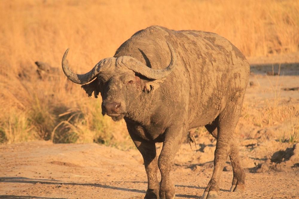 Buffalo, South Luangwa National Park