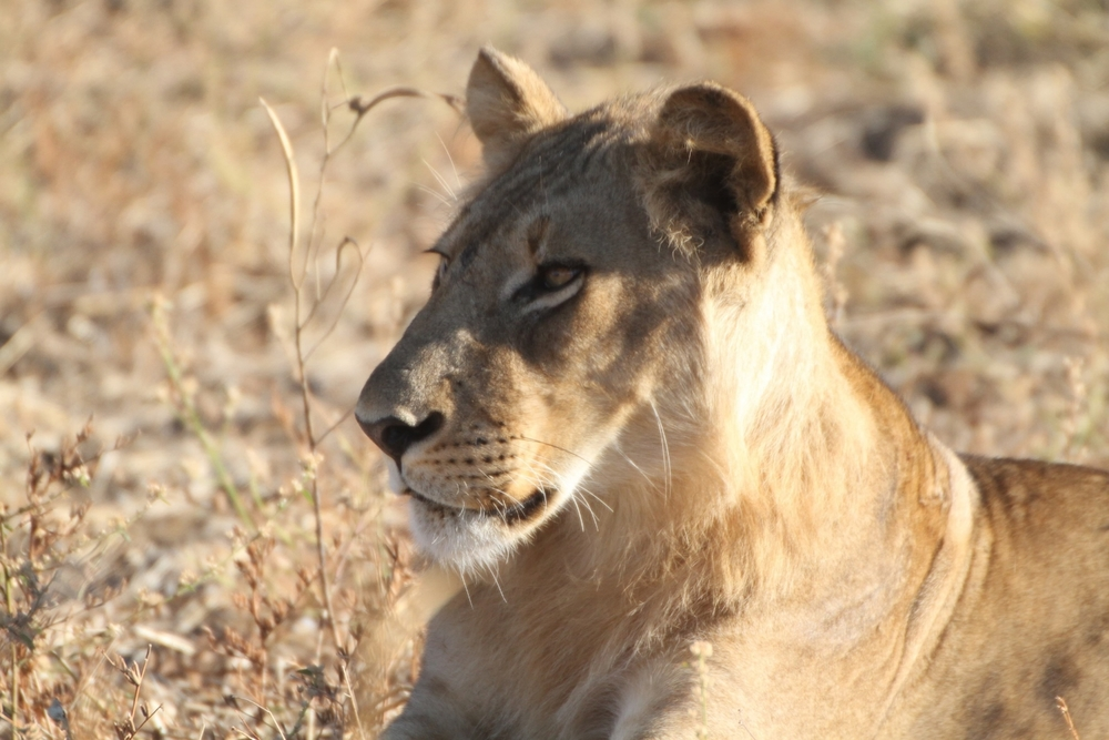 Lion at South Luangwa National Park