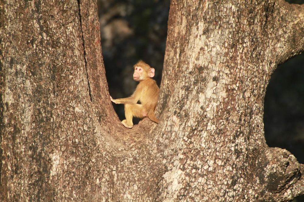 Monkey, South Luangwa National Park