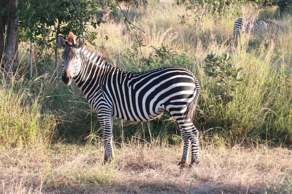 Zebra, South Luangwa National Park
