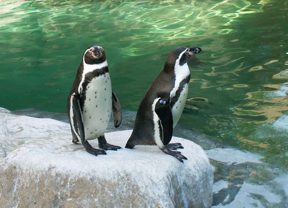 Bestu  pingvinir  að leik.