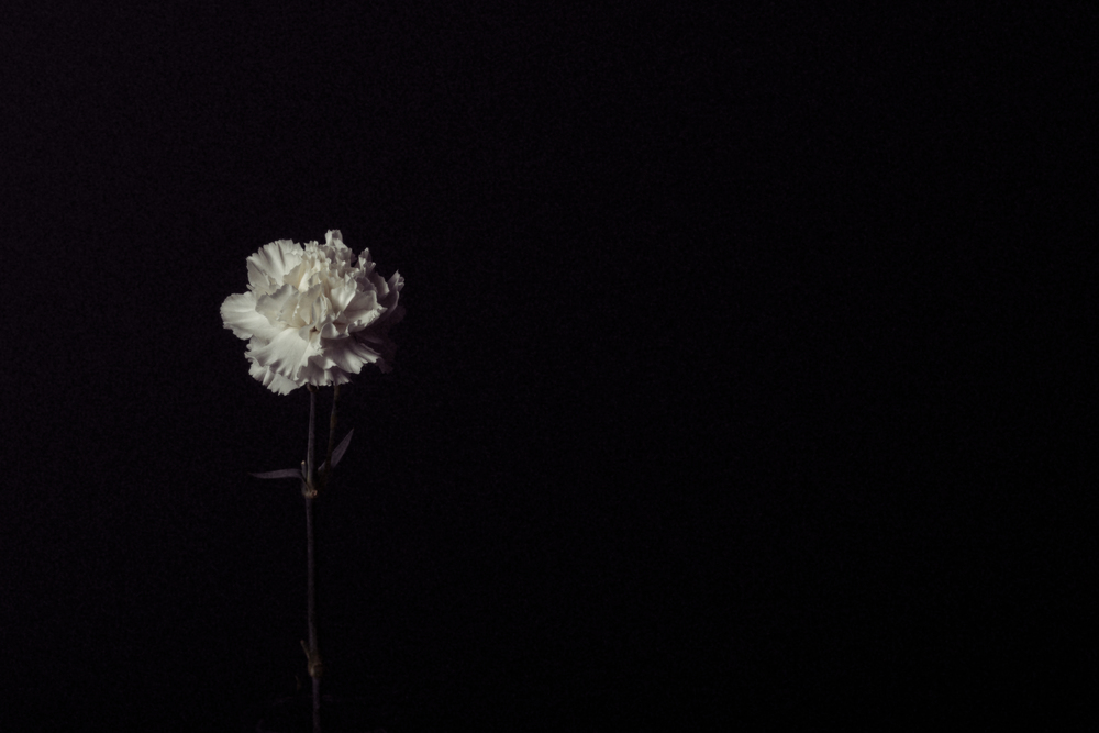 White Carnation.  January 2016.