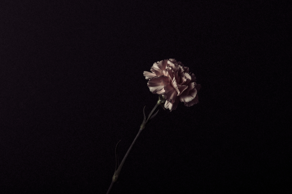 Blush Carnation.  January 2016.