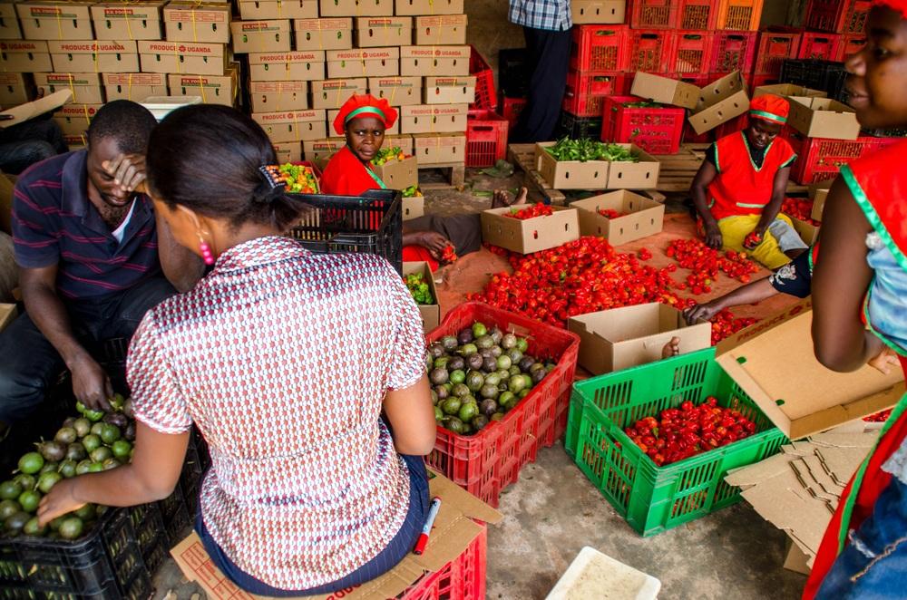 KadAfrica, commercial farming, Fort Portal, Uganda