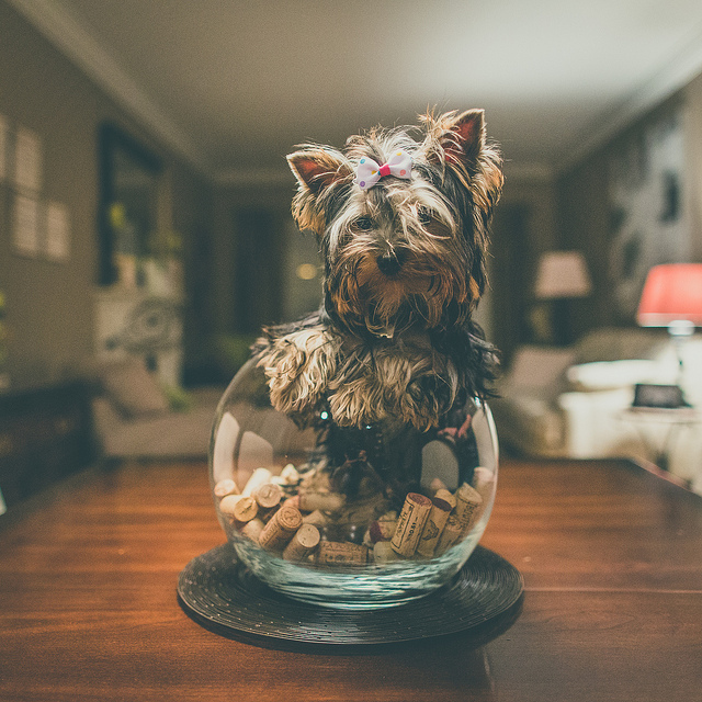 Maggie  on Flickr.  This is dog. Inside a bowl. A bowl of wine bottle corks.