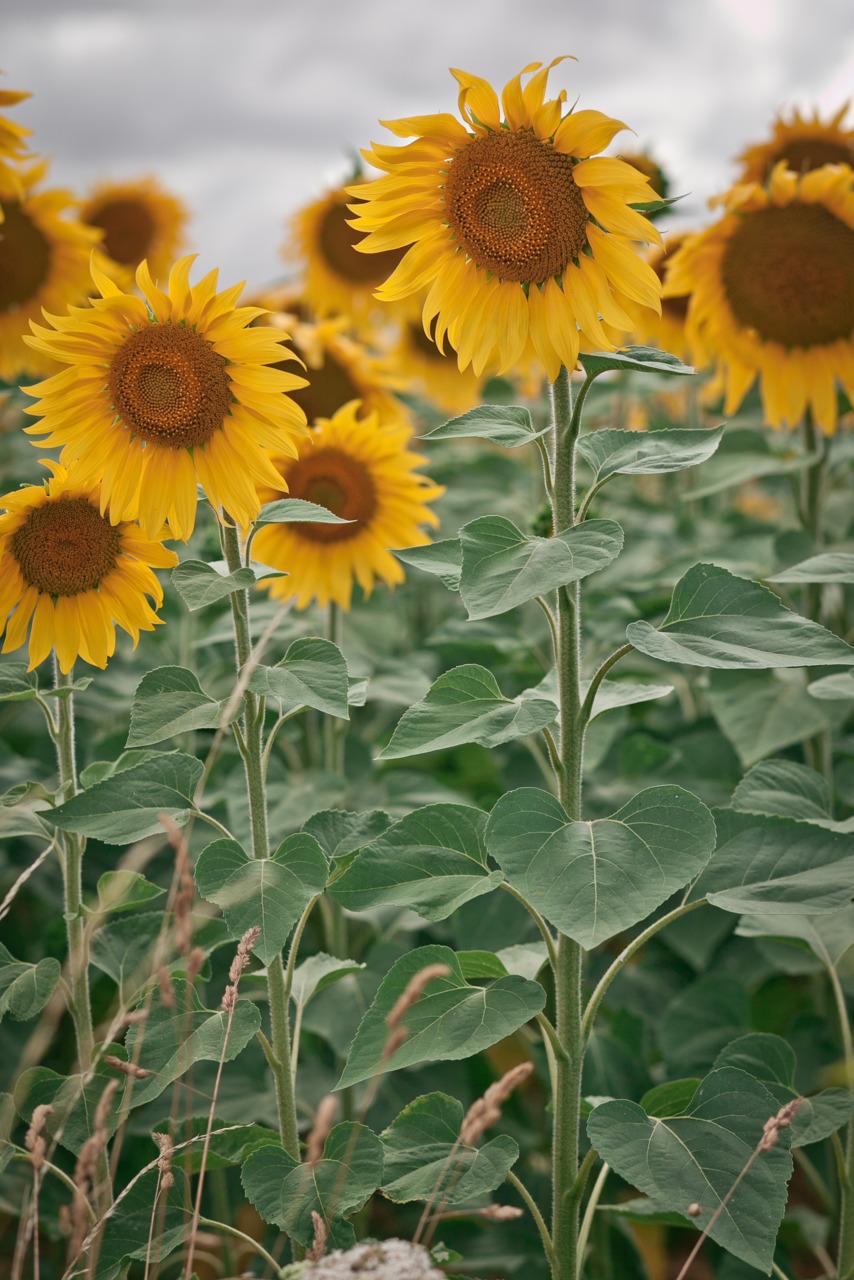 so much portrait! sunflower fields are neat! -Zach EOS 5D mark II 85mm 1.8