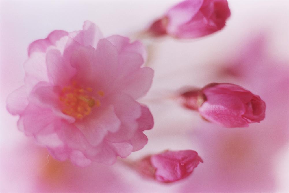 SAKURA-049(credits©mika ninagawa Courtesy of Tomio Koyama Gallery)-s.jpg