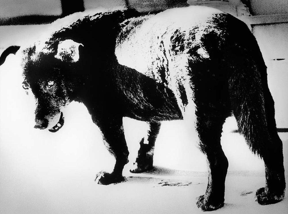 © Daido Moriyama,Stray Dog, Misawa(1971)