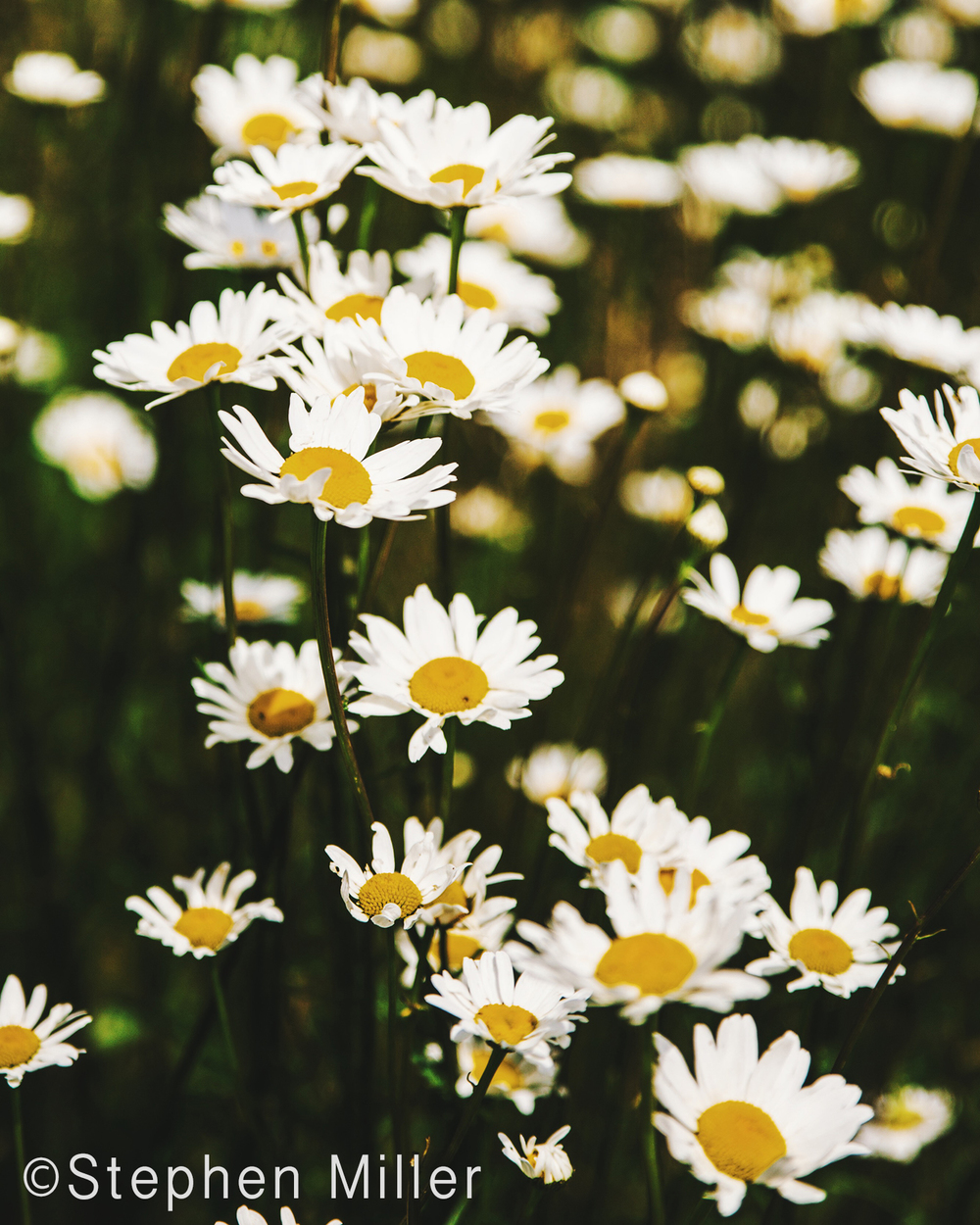 Spring time and the fields are filled with wild daisies.