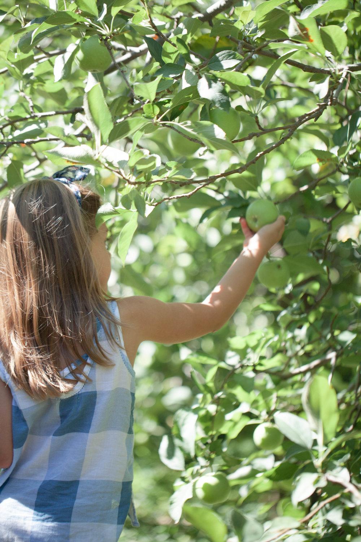 apple picking-8166.jpg