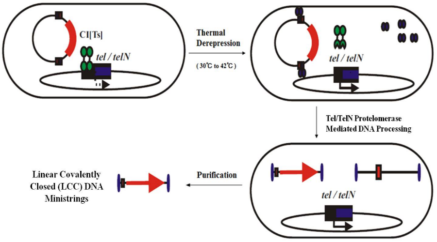 Figure 1. Ministring Production System: Under thermal repression (30°C) The engineered Eschericia Coli (W3NN) processes the parent plasmid (pNN9) into DNA ministrings. At induced conditions (42°C) the engineered E.coli cells lead to the production of linear covalently closed (LCC) DNA ministrings by Tel protelomerase activity on its target site, encoded within two Super Sequence (SS) sites on pNN9.