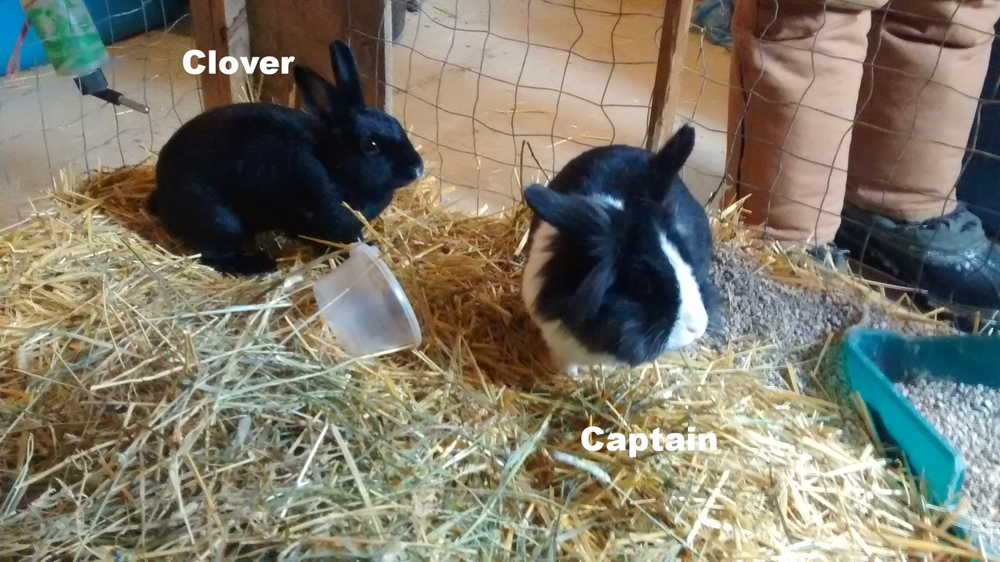 black rabbit is clover, captian is black and white.jpg
