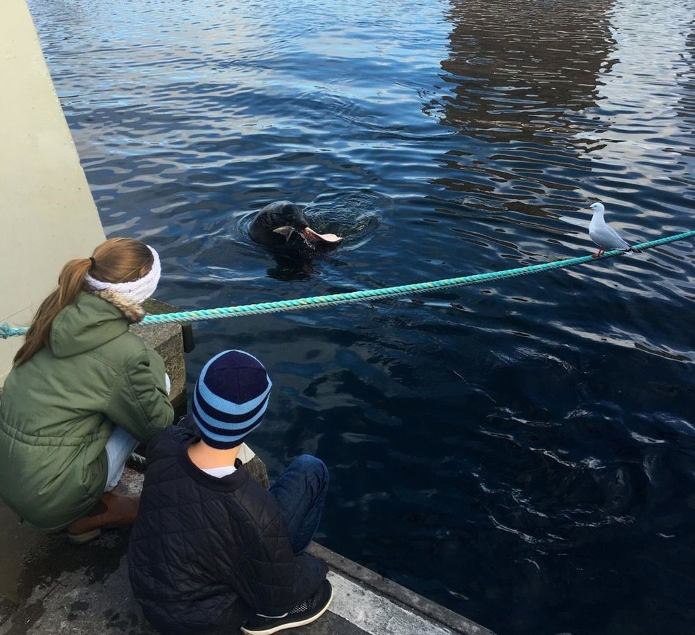 Sebastian, the fur seal  .     Photo: Anders Buch-Larsen