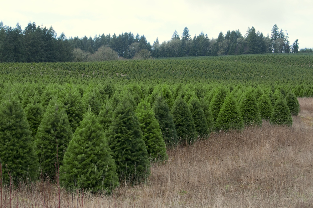 Wholesale Cedar Grove Christmas Trees