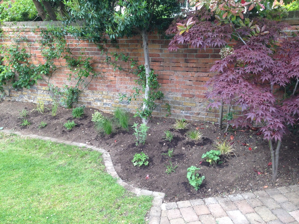 A Acer and planting.JPG
