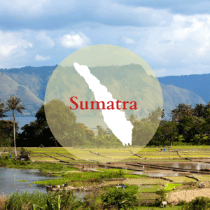 Sumatra, the westernmost island of Indonesia, produces a complex and wild jungle coffee. It is deep and full bodied, earthy with a hint of musk. Sumatran coffee is often laid out over the jungle floor to dry after processing. Due to this drying process it isn't uncommon to find all manner of debris, such as sticks and bits of stone mixed in with the green beans.