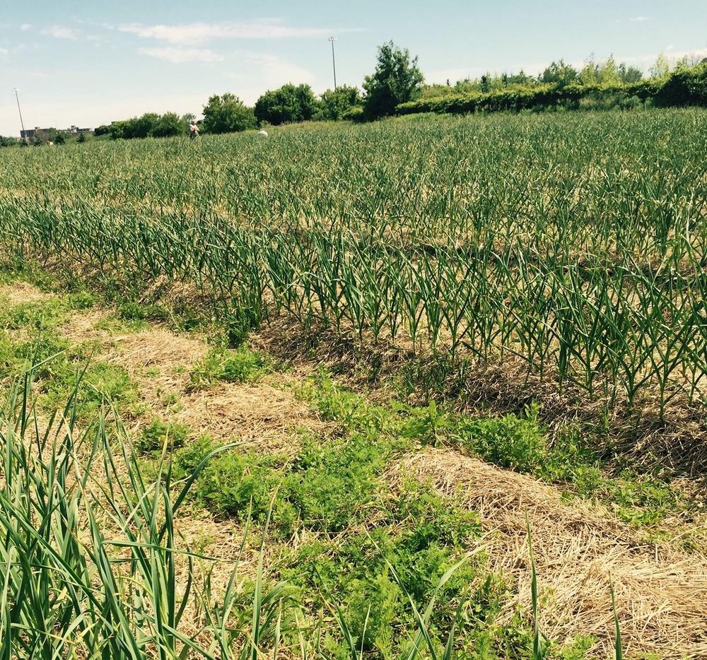 Silver Spring Farm's Garlic Crops