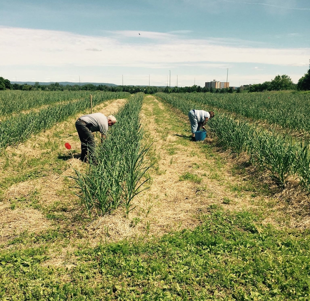 Volunteers tending to the garlic crops