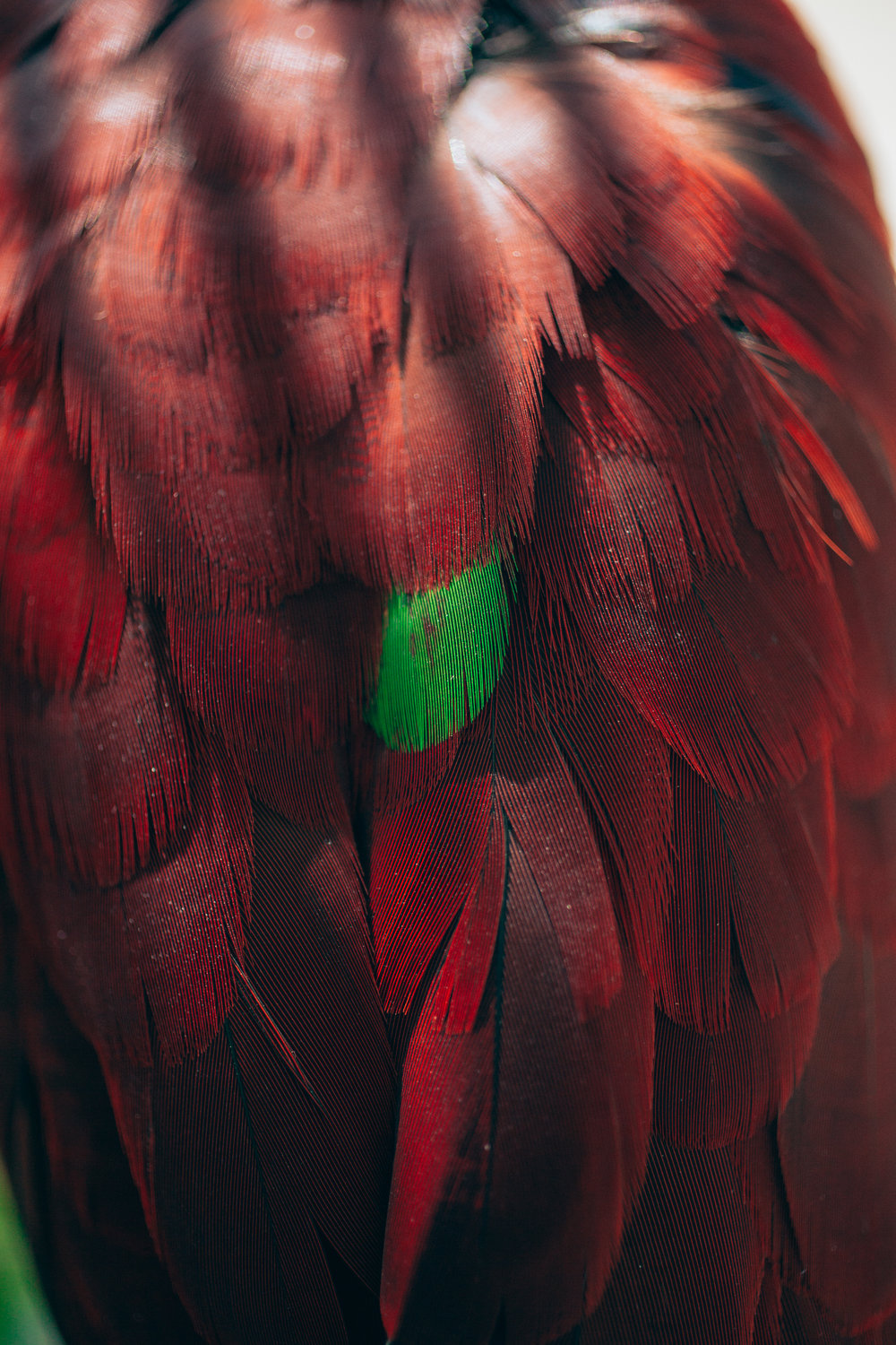 Mele- Beautiful and the dammed - When I was 7 we got mele a Solomon Island Parrot and my whole life she has been there. I was gifted her recently. She developed some nerve damage in her old age, and its made her a little nervous. and so she plucks her feathers. When I took her over I thought I can fix her! In life their are many different teachers. What male has taught me is not everything can be fixed… All you can do is love and nurture the beauty lies within.