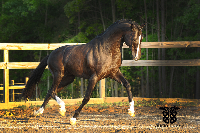 Stallion Incantare owned by Andrew and Tiffany Palmer of Royal Palm Farm