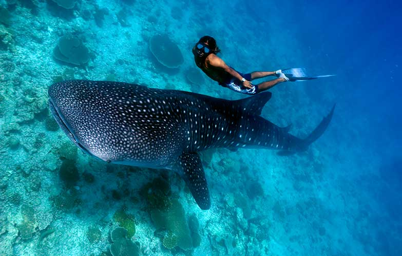 Swimming with  whale sharks  off  Tofo Beach