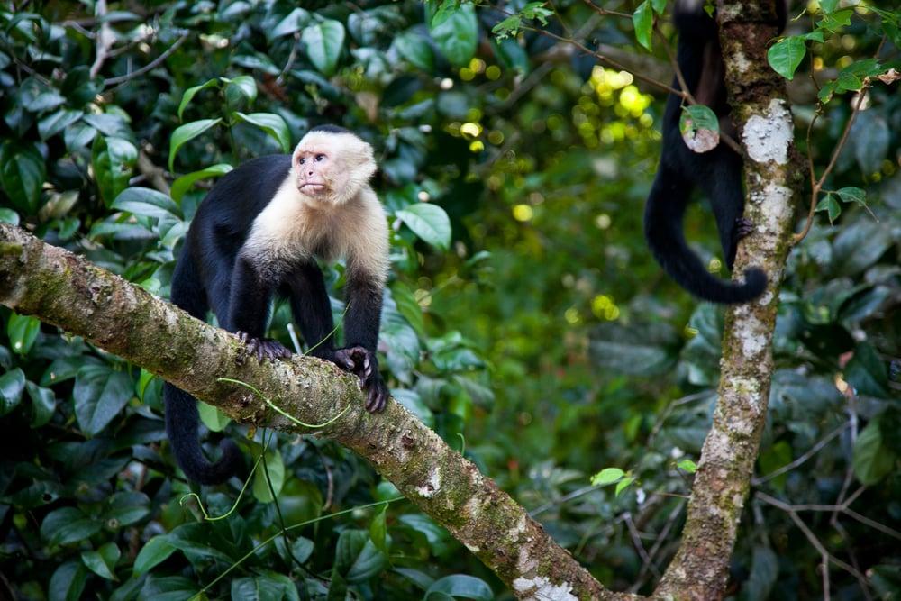 trisa-taro-manuel-antonio-national-park-monkeys-costa rica.jpg