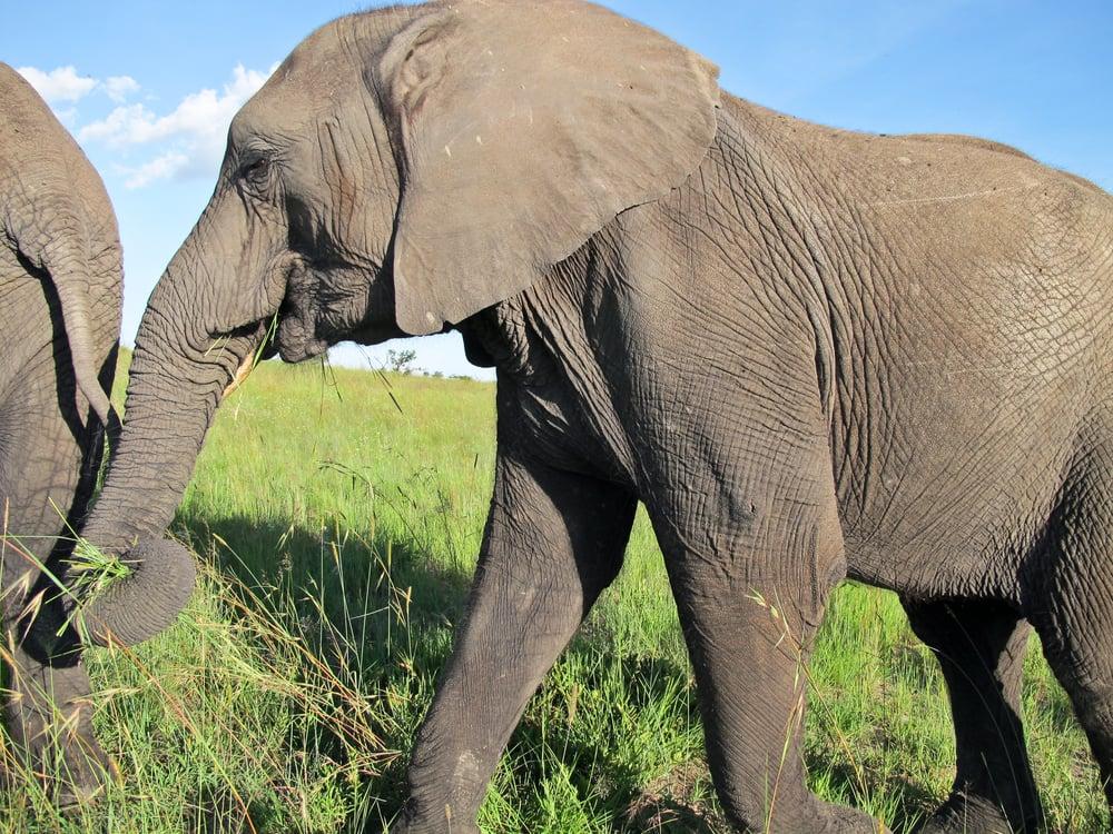 trisa-taro-elephants-antelope-park-zimbabwe.jpg