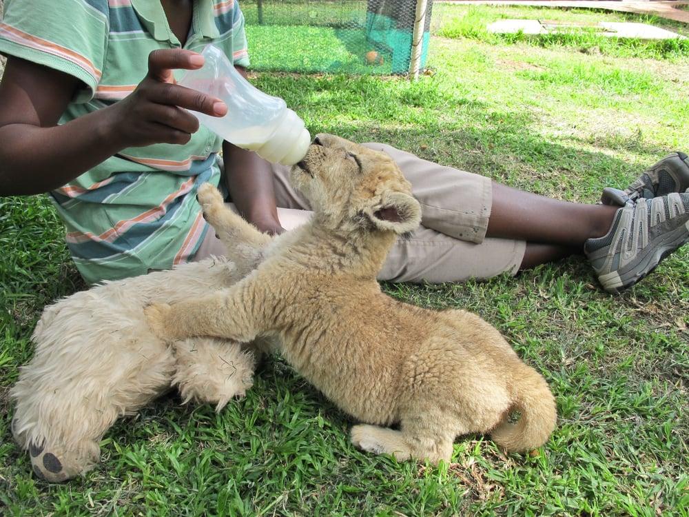 trisa-taro-baby-lion-antelope-park-zimbabwe.jpg
